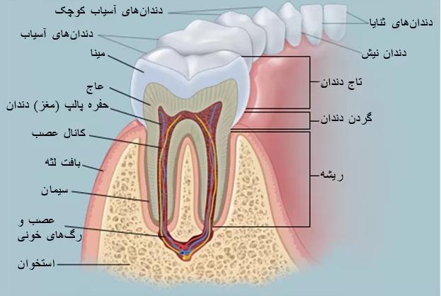 انواع دندان ها و درمان عصب کشی